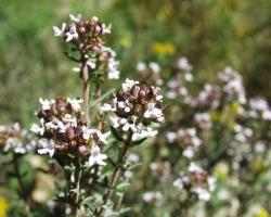 Thymus_vulgaris_____________20_04_2001_1.jpg