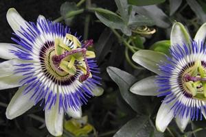 Combaterea insomniei cu Passiflora - «floarea pasiunii»