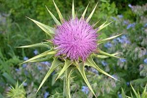 Regenerarea ficatului cu plante medicinale