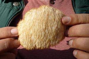 Hericium Erinaceus, ciuperca medicinala ce trateaza bolile de stomac